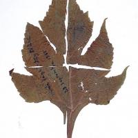 """Một chiếc lá ép trong thư gửi từ Blao về có chữ Trịnh Công Sơn ghi trên mặt lá: """"Mưa lạnh đầy đó Ánh - 23 Septembre 1965"""""""